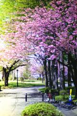 桜咲く道_フィルムにて