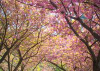 CANON Canon EOS Mで撮影した(桃色の散歩道)の写真(画像)