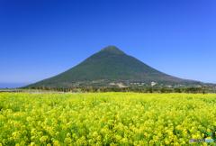 菜の花畑と開聞岳