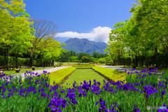 花菖蒲咲く吉野公園