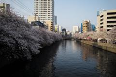 日ノ出町の桜