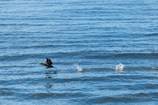 海鳥の跳躍