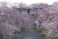 しだれ桜と鳥居