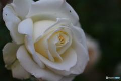 白いバラ②