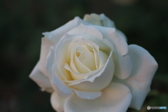 白いバラ①