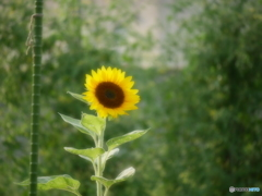 最後の向日葵