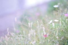 ふわり咲く
