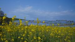 ネモフィラと菜の花コラボ/ひたち海浜公園