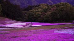 モスピンクの絨毯/羊山公園