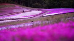 羊山公園の芝桜/マジックアワー