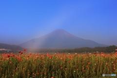 朝靄のポピー畑にて…