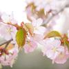 桜満開(お花の時間)