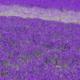 紫のラグマット