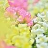 fancy(お花の時間)