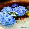 明月院Collection2017-金魚と紫陽花-