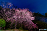 Monster-sakura