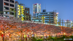 cherry tree at evening Ⅱ