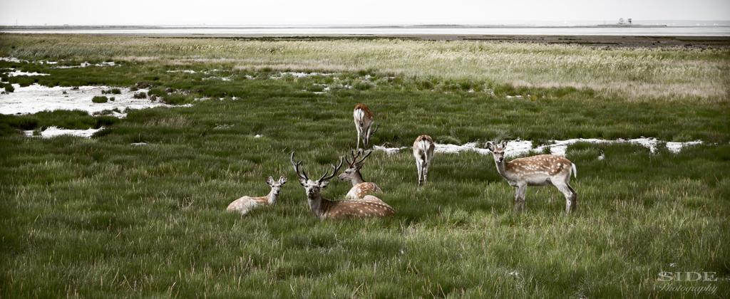 北海道の鹿