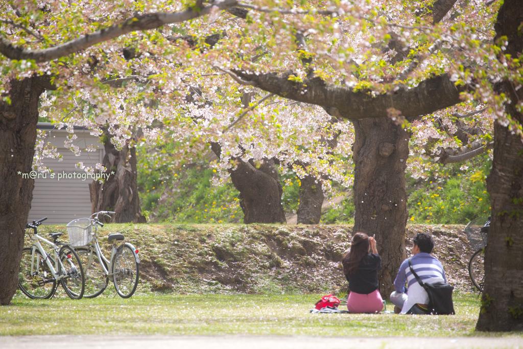 零れ桜を愛でながら...