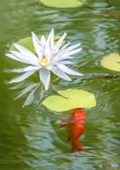 金魚と睡蓮1