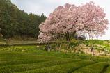 茶畑と百年桜