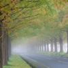 朝霧の並木