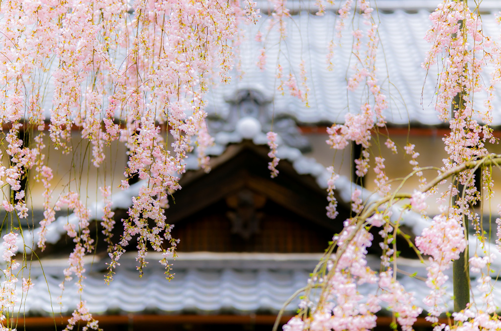 大野寺の小糸枝垂れ