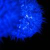 Blue Volvox