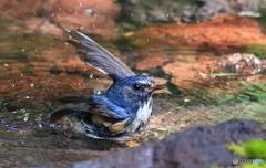 ルリビタキの水浴び