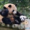 パンダの母娘