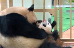 パンダの母子