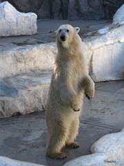 上野のシロクマさん