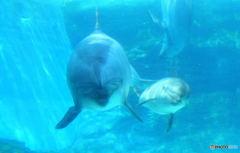 イルカの親子