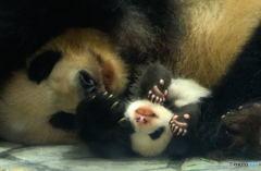 パンダの親子Ⅱ