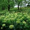 アナベルの森 ~神戸市森林植物園Ⅲ~