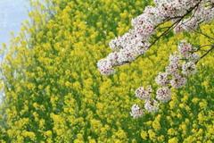 佐保川の春景