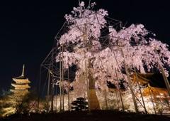 不二桜に祈りをこめて