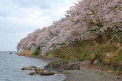 海津大崎の桜Ⅱ