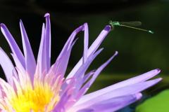 蓮の花とアオモンイトトンボ(♂)