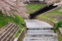 桜吹雪 ~奈良、佐保川の春景~