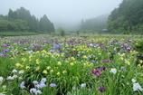 霧に包まれし夢世界 ~永沢寺花しょうぶ園Ⅰ~