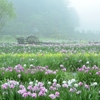 霧に包まれし夢世界 ~永沢寺花しょうぶ園Ⅱ~