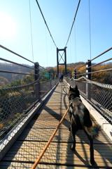 吊橋だって怖くない!(尻尾はちょっと下がり気味)