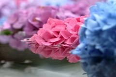 水鏡と紫陽花Ⅱ