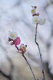 源平咲き分け ~意賀美神社の梅Ⅱ~