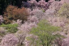 千本のしだれ桜 ~天空の庭 高見の郷Ⅰ~