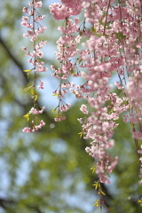 しだれ桜 ~天空の庭 高見の郷Ⅱ~