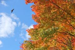爽秋の空を舞う