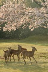 朝、桜と踊る。