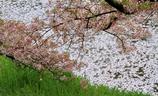 春色に染まる川 ~奈良、佐保川の春景~
